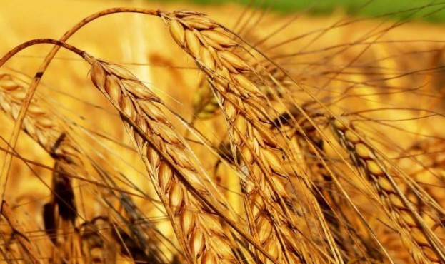 Пшеница-фото-колос