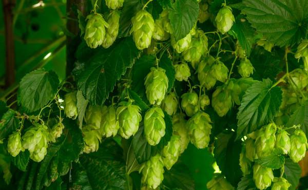 Green growing hops