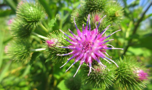 cvety-lugovye--polevye--cvety-lapuh-1269212