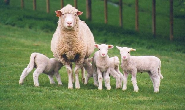 sheep2-623x370