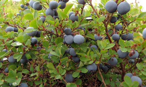 052de3d-blueberries-2646330-1280