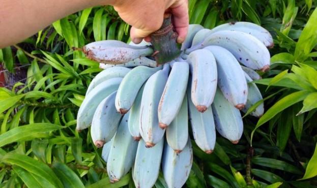 fantasticheskie-golubye-banany-udivitelnyy-vkus-nerealnyy-cvet-foto-1