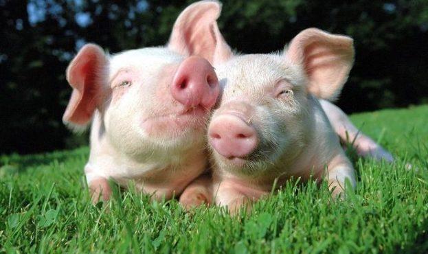 happy-pigs1-e1493201740495-623x370
