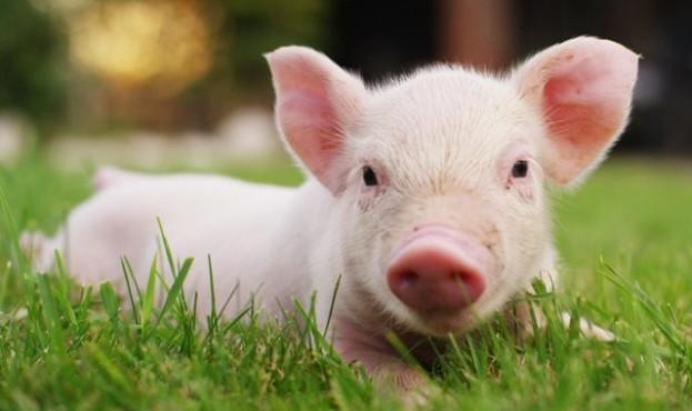 свиня-640x410