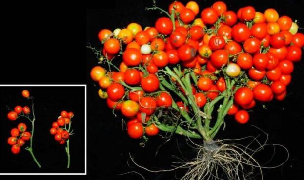 Tomat-GMO