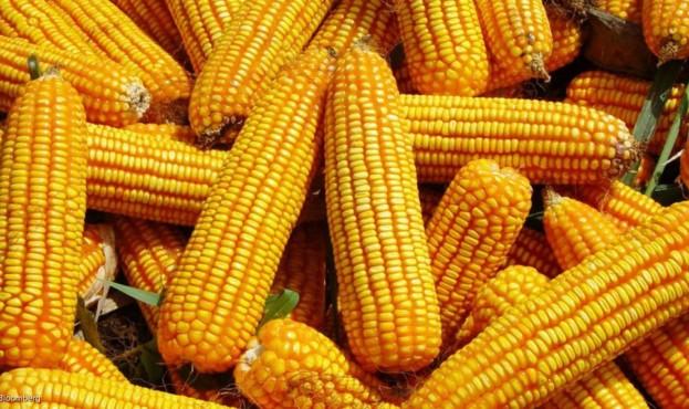 kukuruza-eto-frukt-ovoshch-ili-zlak-i-k-kakomu-semejstvu-otnositsya-2