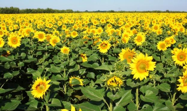 технология выращивани высоких урожаев подсолнечника