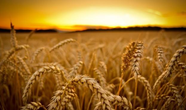 wheat_desease-1024x640-14100