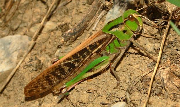 Acrididae - Locusta migratoria