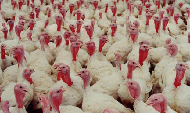 intensive-turkey-farm