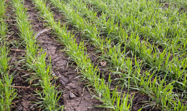 wheat field in early spring. first shoots