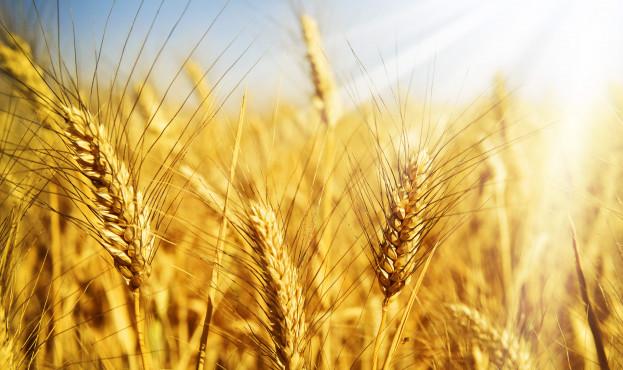 зерно-в-поле