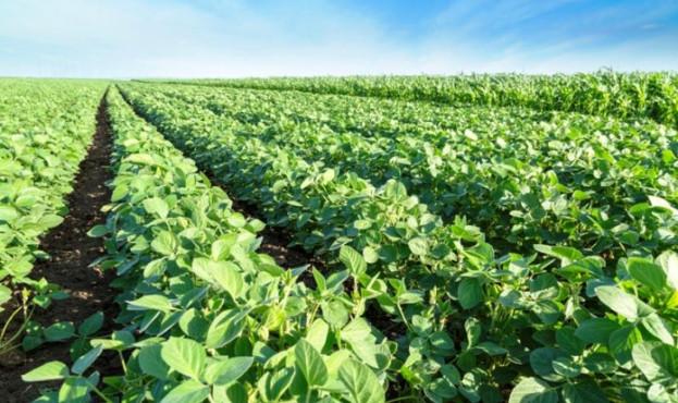 Green soybean plants close-up shot, mixed organic and gmo