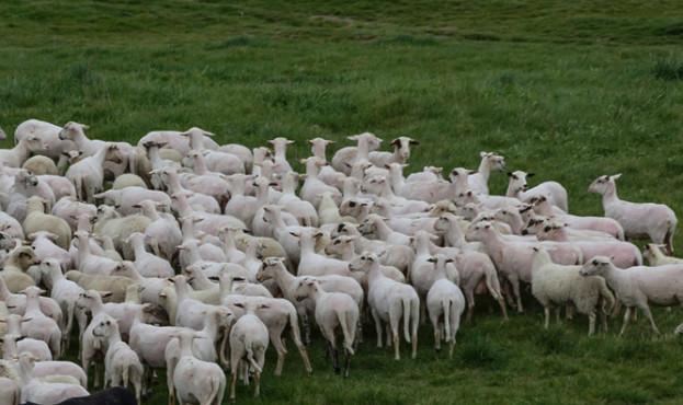 sheeps_0