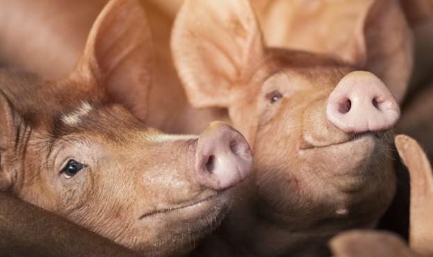 свиня-1-1024x652