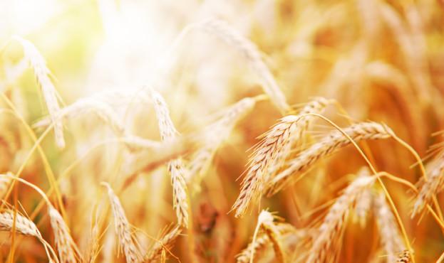 Wheat in early sunlight