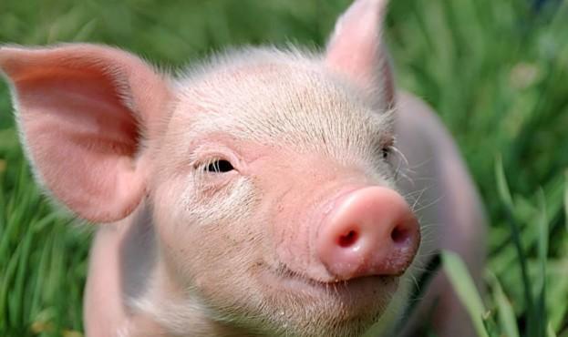 Голова-свиньи-фото_0