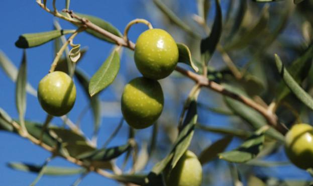 olive_tree-e1503306511362-840x415