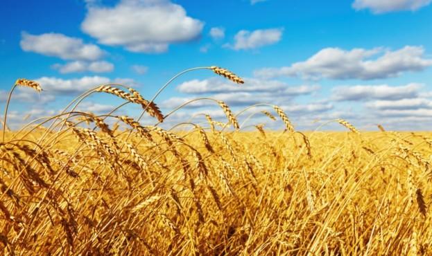 пшеница-1024x601