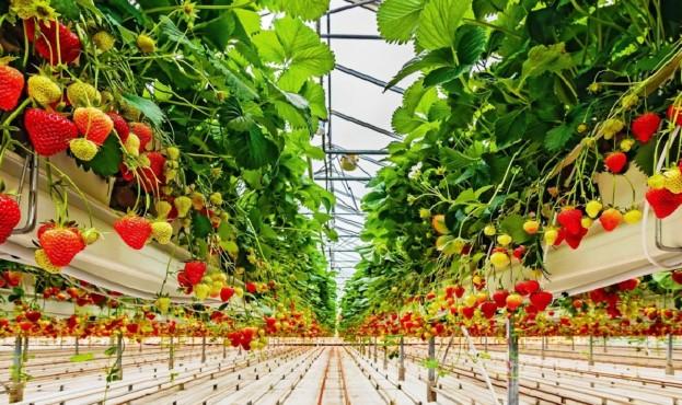 современная технология выращивания клубники, земляники в теплице гидропоника