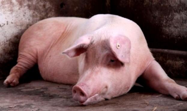 El-municipio-se-encargara-de-tecnificar-la-crianza-de-cerdos-Razas-Porcinas-1
