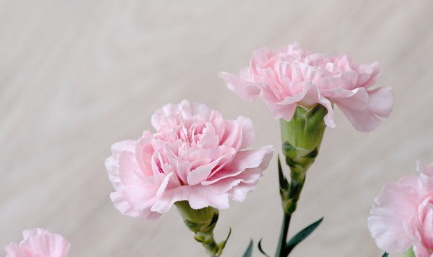 Cloves Pink Flowers Flowers Carnation Pink Pink