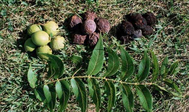 chernyj-greckij-orekh-black-walnut-nsp-kozhura-skorlupa-poleznye-svojstva-kupit-otzyvy-foto-kapsuly-primenenie-preparat-bad-protivopokazaniya