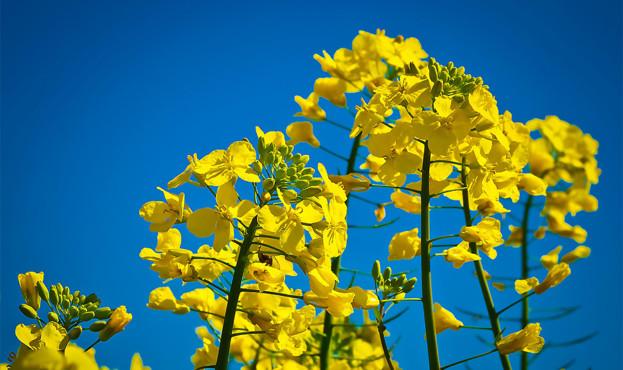 oilseed-rape-1378038_1920