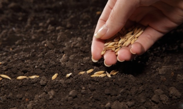 посів-насіння
