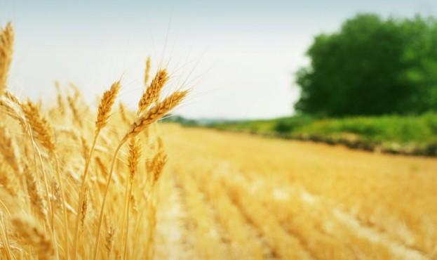 пшеница-1024x674