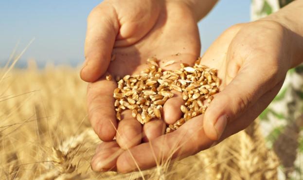 зерно-в-руках