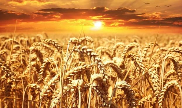 Wheat3-920x652