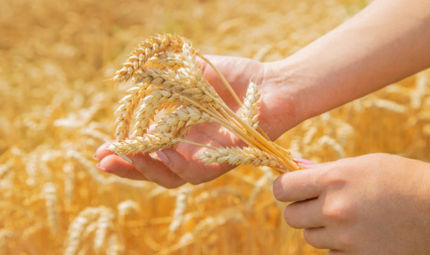 girl-spikelets-wheat-hands_73944-8968