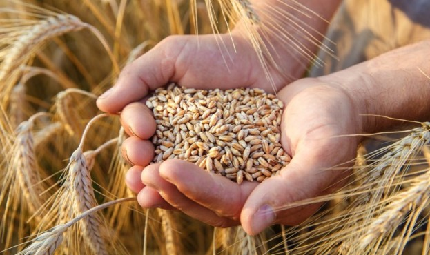 пшениця-1024x683