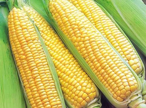 kukuruza-superrannyaya-semena3