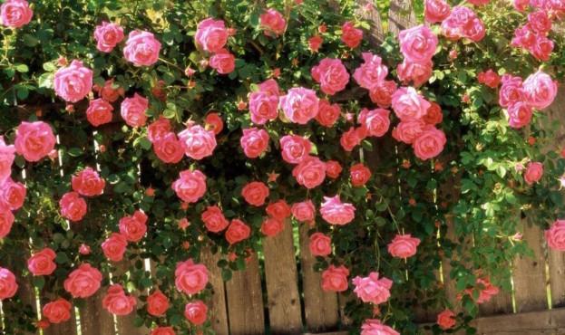 rozy-rastushchie-v-sadu
