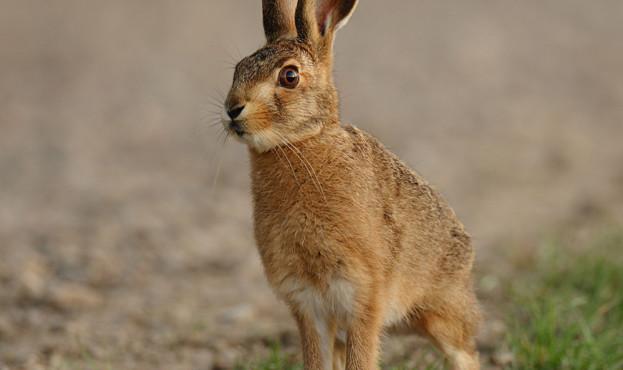 Curious young hare  Lepus europaeus