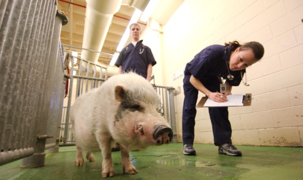 Doctors work with animals at the College of Veterinary Medicine.