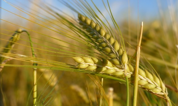 barley-2807444_960_720
