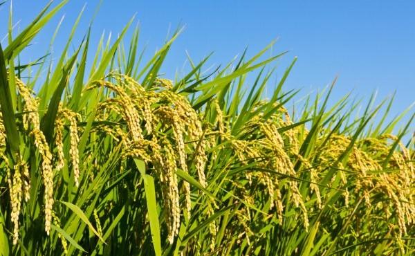 depositphotos_18363309-stock-photo-rice-and-autumn-sky