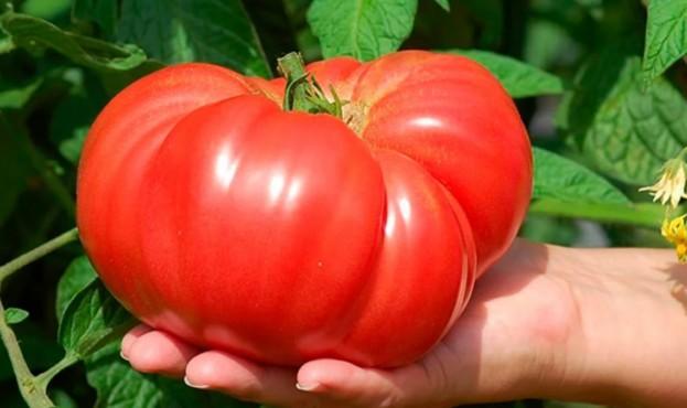 pomidor-1300x675
