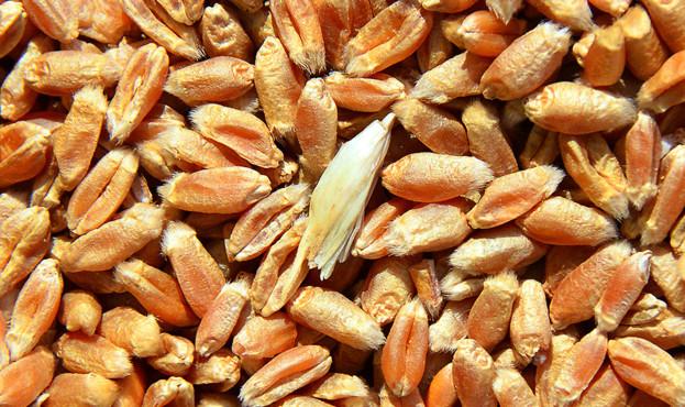 wheat-2676956