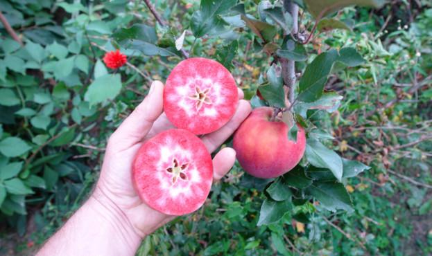 Сорт-яблук-виведений-В.-Францішком-з-умовною-назвою-Казка-1024x683