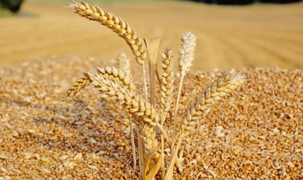 articles.20100728-wheat-grain-quality.00