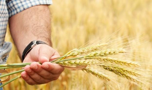 пшениця-920x436
