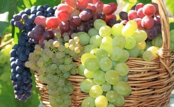 sorta-vinograda-1