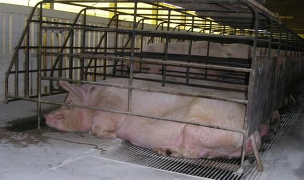 sow-stalls