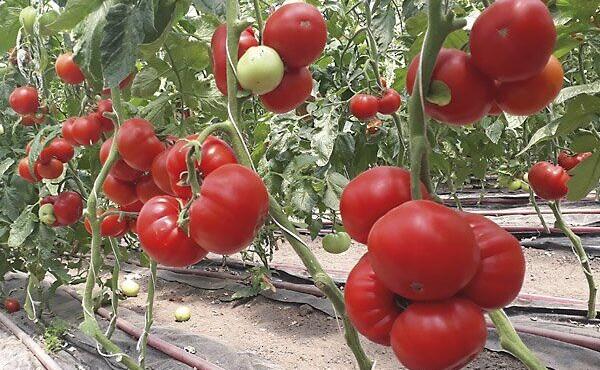 tomat-devonet-f1-500-semyan-82244438330817