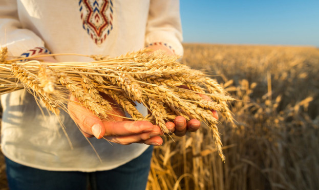farming, environment, culture concept. close up of bunch of sunny barley in arms of woman wearing in jeans and russian truditional clothes vyshyvanka, linen shirt embroidered with red and blue threads