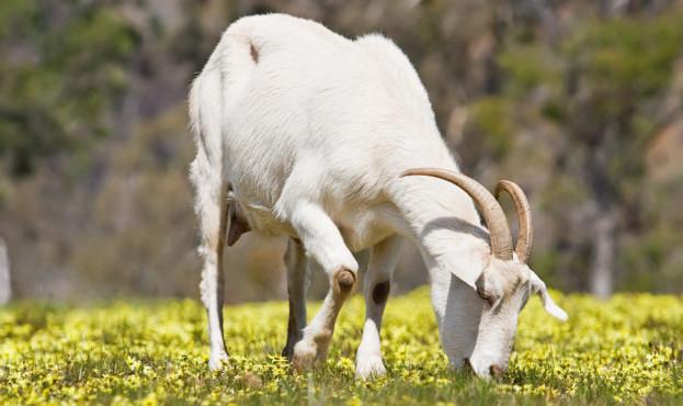 Domestic_goat_feeding_on_capeweed